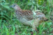 Coqui Francolin, Kavango, Namibia - birds057