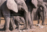 Elephant baby with herd, Etosha, Namibia: elephants150