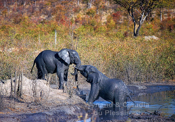 Elephants testing their strength after a mud bath, Etosha - elephants030