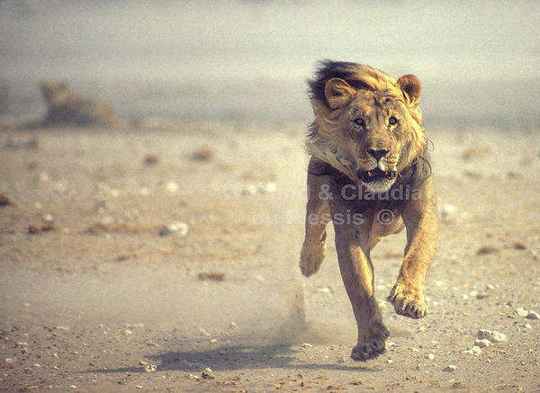 Lion male charging, Namibia: lion023