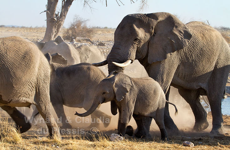 Elephants arriving at a waterhole, Etosha, Namibia - elephants079