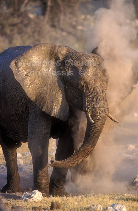 Elephant dust bathing, Etosha, Namibia - elephants065