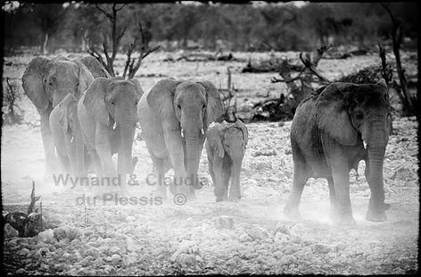 Elephants marching to a waterhole, Etosha, Namibia _ Black-White029