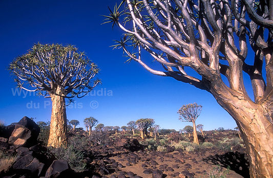 Quiver trees in southern Namibia: landscape016