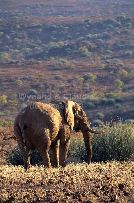 Elephant bull in Damaraland, Namibia - elephants084