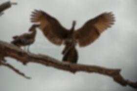 Hamerkop mating, Caprivi, Namibia - birds031