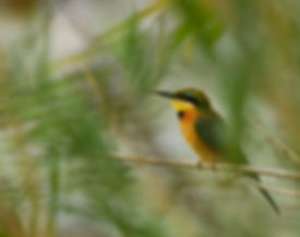 Little Bee-eater, Caprivi, Namibia - birds058