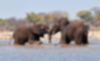 Young elephants bulls play-fighting in waterhole, Etosha, Namibia: elephants126