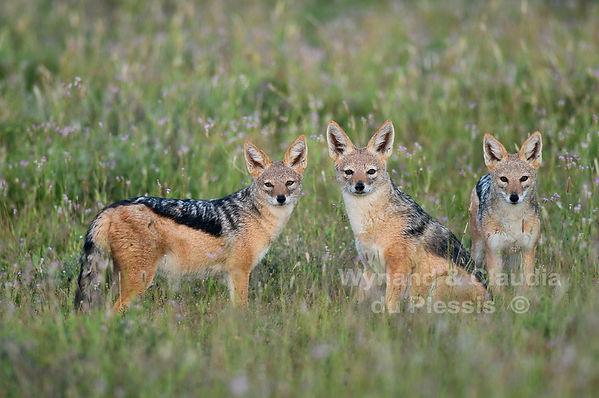 Black-backed jackal family in Etosha: wildlife066