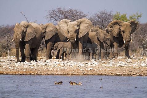 Elephant herd at Klein Namutoni waterhole, Etosha, Namibia - elephants060