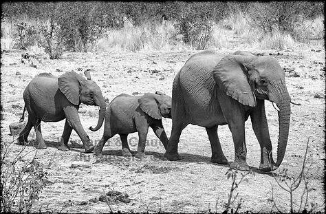 Elephants walking to a waterhole, Etosha, Namibia _ Black-White012