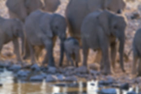 Elephants gather at a waterhole, Etosha, Namibia - elephants095