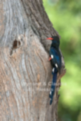 Redbilled Woodhoopoe at nest, Caprivi, Namibia - birds041