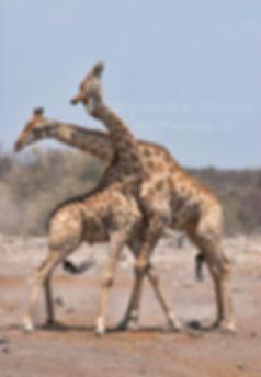 Giraffe bulls fighting, Etosha, Namibia: wildlife070