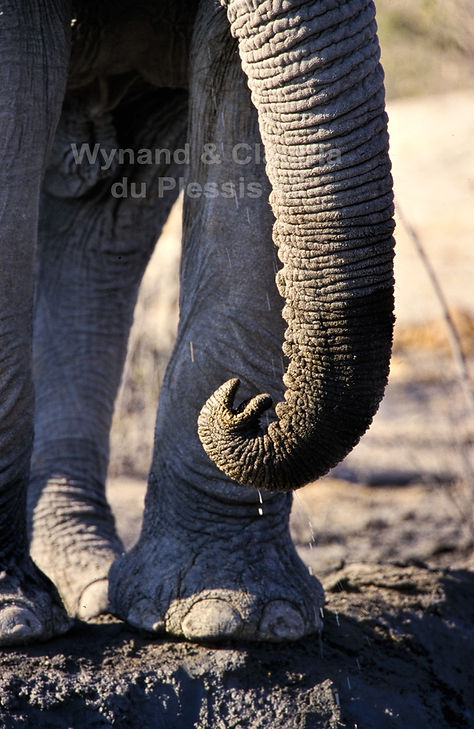 Elephant trunk, Etosha, Namibia - elephants068