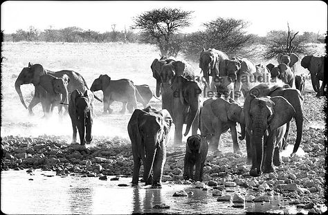 Elephant herd gathers at a waterhole, Etosha, Namibia _ Black-White017