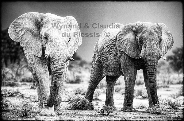Elephant bulls, Etosha, Namibia _ Black-White040