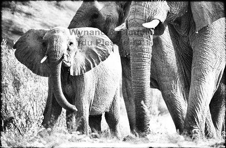 Elephants in Damaraland, Namibia _ Black-White043