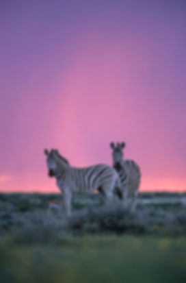 Burchell's zebra at sunset in the rainy season, Etosha: wildlife062