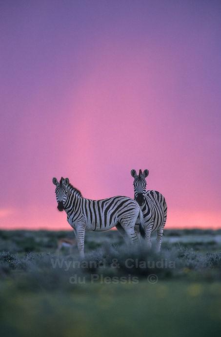 Burchell's zebra at sunset in the rainy season, Etosha: wildlife062