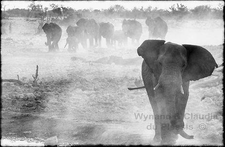 Elephants marching to a waterhole, Etosha, Namibia _ Black-White057