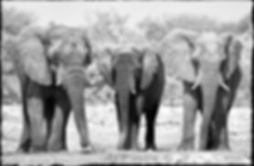 Young bull elephants, Etosha, Namibia _ Black-White053