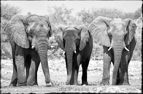 Young bull elephants, Etosha, Namibia _ Black-White053