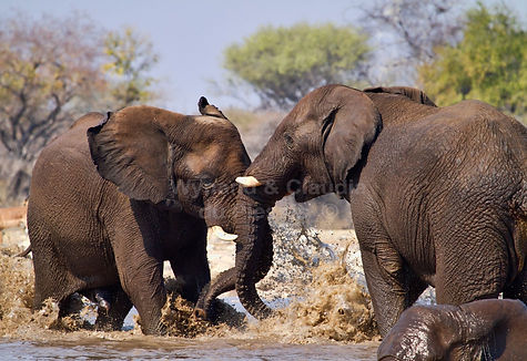 Elephant bulls fighting, Etosha, Namibia - elephants011