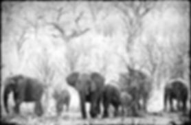 Elephant herd in Mopane savanna, Etosha, Namibia _ Black-White038
