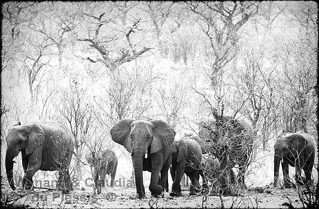 Elephant herd in Mopane savanna, Etosha, Namibia _ Black-White038