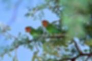 Rosyfaced Lovebird, Namib Desert, Namibia - birds043