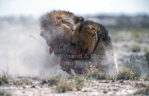 Lions fighting over zebra foal: lion038