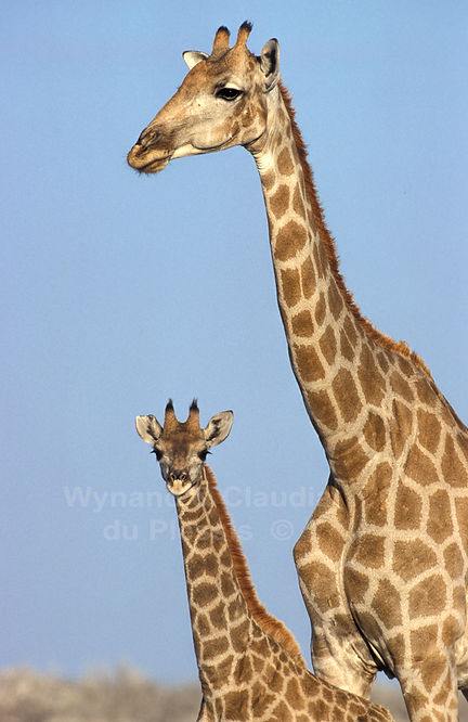 Giraffe mother with baby, Etosha, Namibia: wildlife054