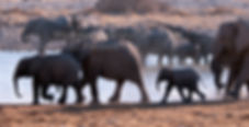 Elephant herd at Okaukuejo waterhole, Etosha, Namibia: elephants112