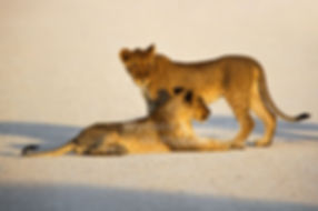 Lion cubs on road in Etosha: lion020
