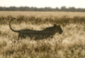 Lioness in long grass, Etosha, Namibia: lion026