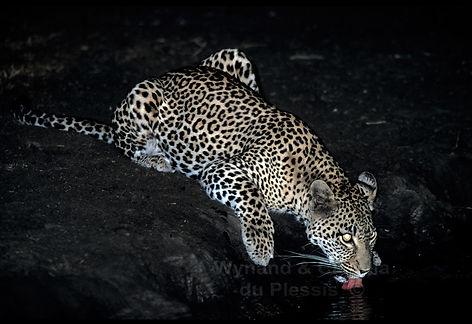 Leopard drinking at night - wildlife007