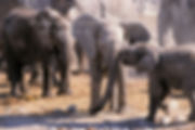 Elephant babies playing, Etosha, Namibia: elephants147