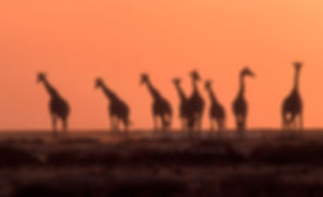 Giraffe at sunset, Etosha, Namibia - wildlife002