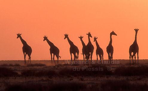 Giraffe at sunset, Etosha, Namibia - wildlife002