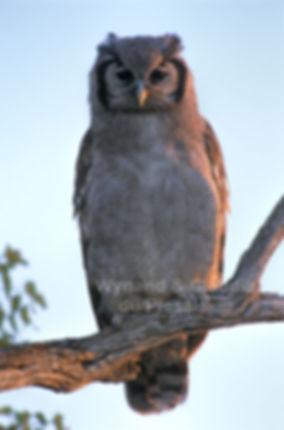 Juvenile Giant Eagle Owl, Etosha, Namibia - birds020