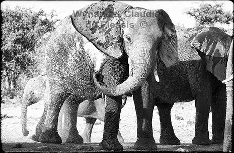 Elephants cooling down, Etosha, Namibia _ Black-White045