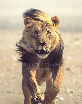 "Lion male ""Mad Max""charging, Etosha, Namibia: lion008"