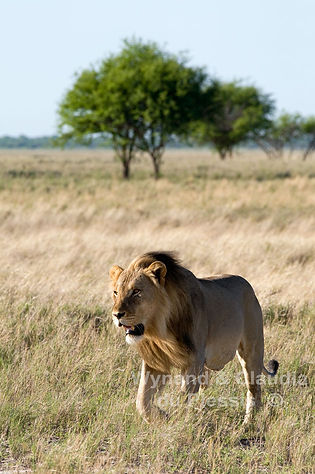 Lion patrolling his territory, Etosha: lion041