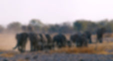 Large elephant herd moving to waterhole, Etosha: elephants111