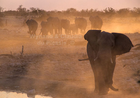 Elephant herd marching to a waterhole, Etosha - elephants036