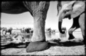 Elephant herd at waterhole, Etosha, Namibia _ Black-White001