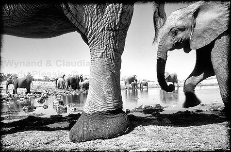 Elephant herd at waterhole, Etosha, Namibia _ Black-White001