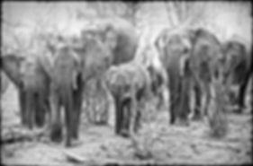 Elephant herd in Mopane savanna, Etosha, Namibia _ Black-White034