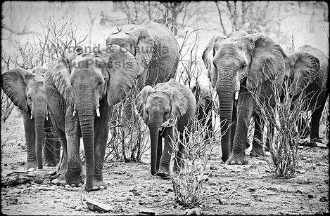 Elephant herd in Mopane savanna, Etosha, Namibia _ Black-White034